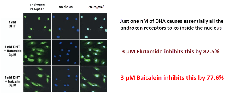 The inhibition was proven directly using fluorescent antibodies against the androgen receptor (green) and a DNA-binding stain for the nucleus (blue).