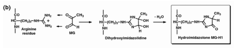 Methylglyoxal freely adds to arginine side chains in its classic reaction, thereby transforming them into hydroimidazolone side chains: