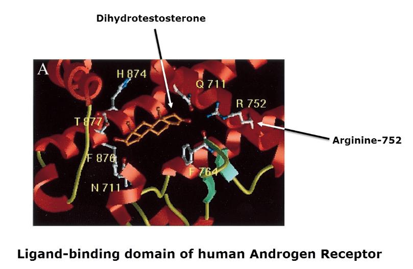 Ligand-binding domain of human Androgen Receptor