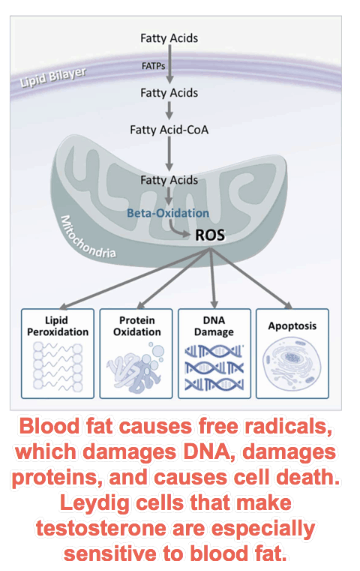 Blood fat causes free radicals, which damages DNA, damages proteins, and causes cell death. Leydig cells that make testosterone are especially sensitive to blood fat.