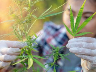 Cannabis research, Cultivation of marijuana Cannabis sativa, flowering cannabis plant as a legal medicinal drug, herb, ready to harvest.