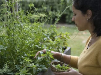 Woman picking some aromatic herbs mint, rosemary, oregano, thyme from a flower bed. She is holding a little basket on her hand