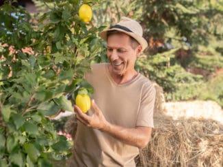 Smiling man in straw hat pruning lemon tree in the garden