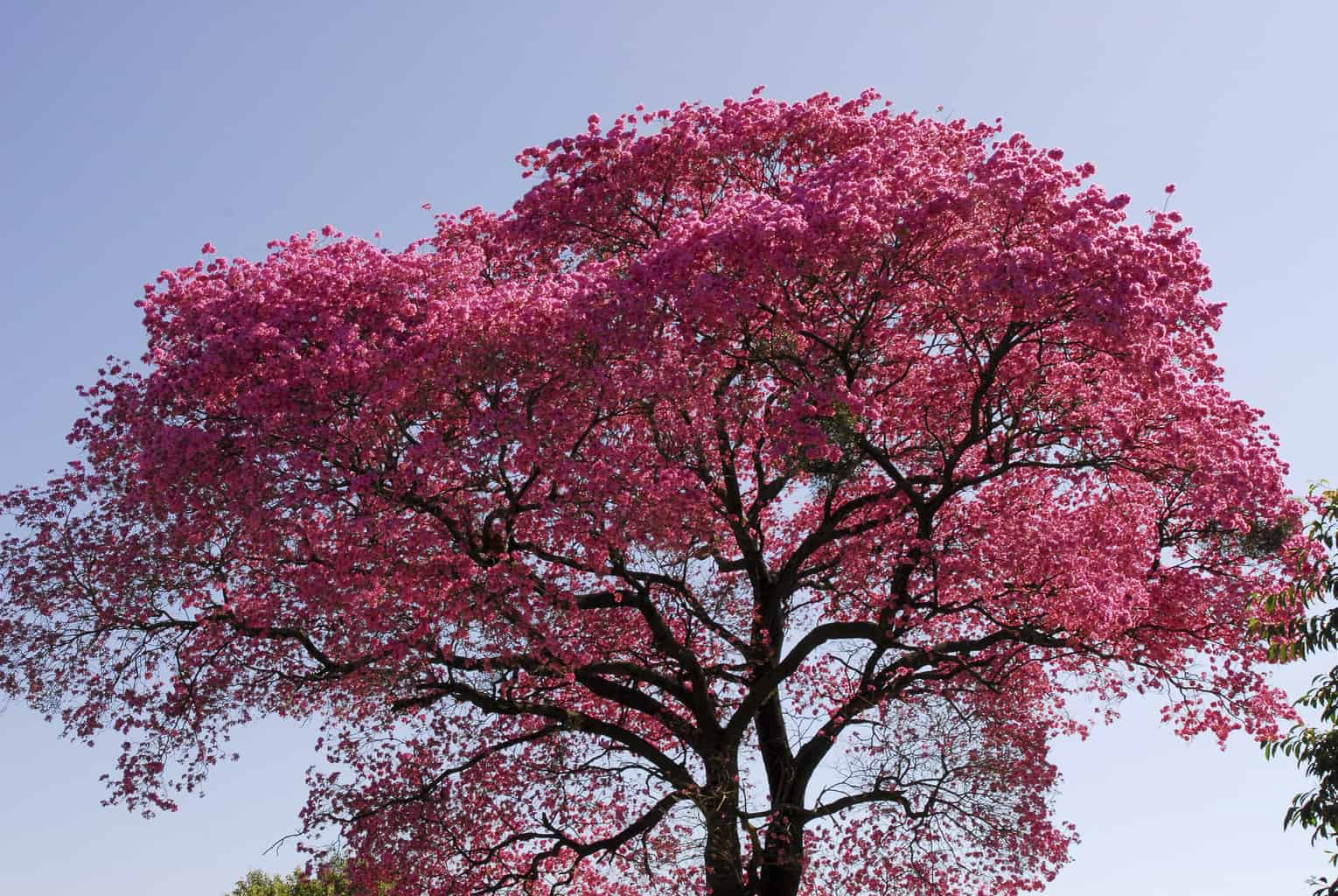 The magic Lapacho tree from South America