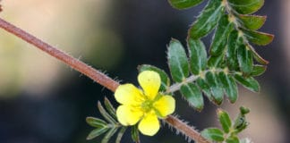 Tribulus doesn't raise testosterone or improve libido