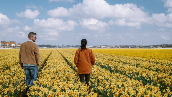 Couple walking in yellow flower bed yellow daffodil flowers during Spring in the Netherlands Lisse during Sprin