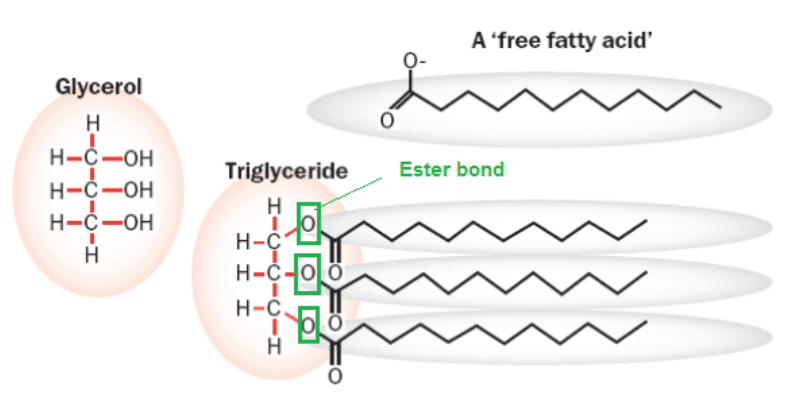 (This is the only group that had erucic acid not in the form of triglycerides.)