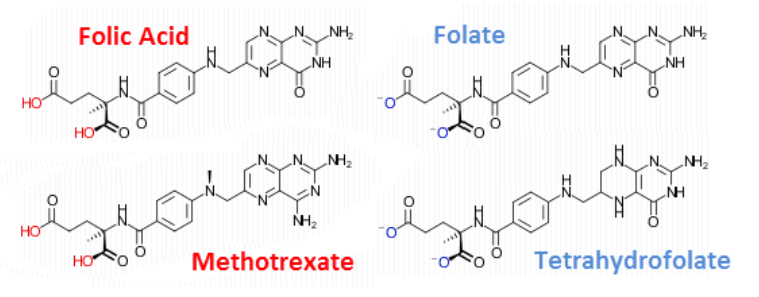 """The affinity for the folate transport system is: folic acid > (±)-methyltetrahydrofolate = (+)-methyltetrahydrofolate > methotrexate."""