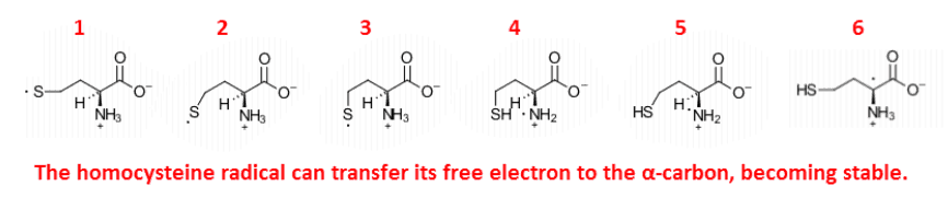 The homocysteine radical can transfer its free electron to the a-carbon, becoming stable