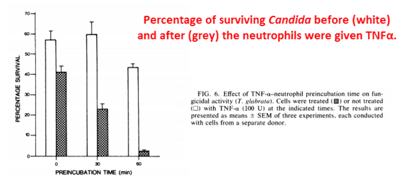 Percentage of surviving candida before (white) and after (grey) the neutrophils were given TNFα