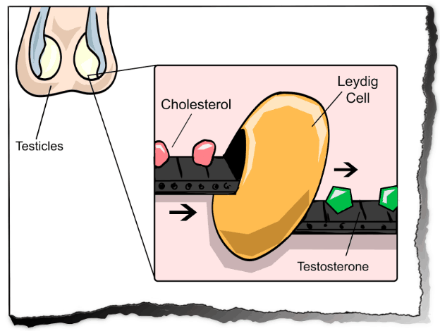 Cholesterol goes in… and testosterone comes out…